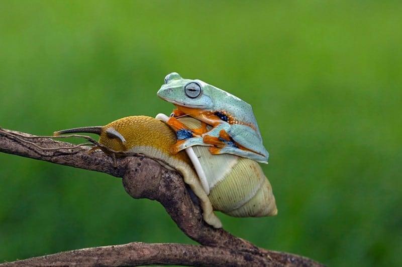 funny-animals-frog-riding-snail-kurito-afsheen-indonesia-5