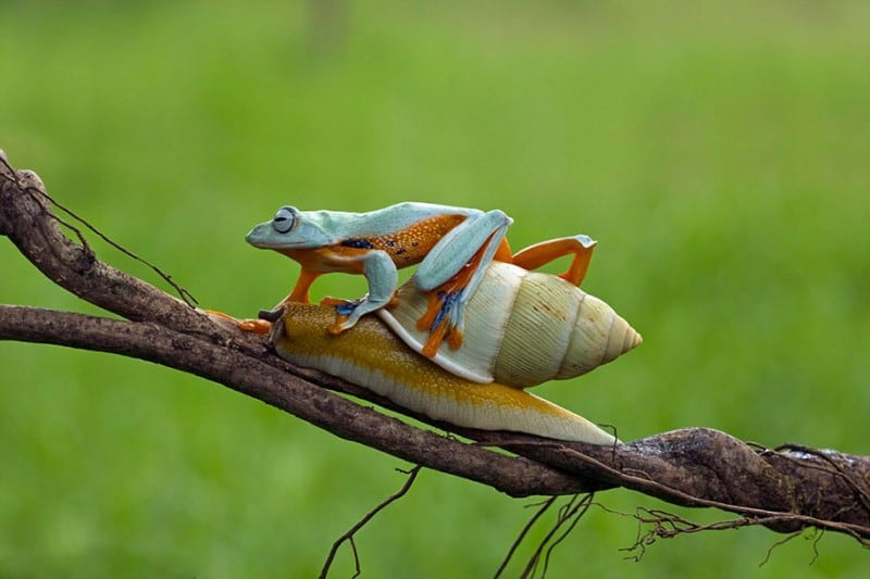 funny-animals-frog-riding-snail-kurito-afsheen-indonesia-7