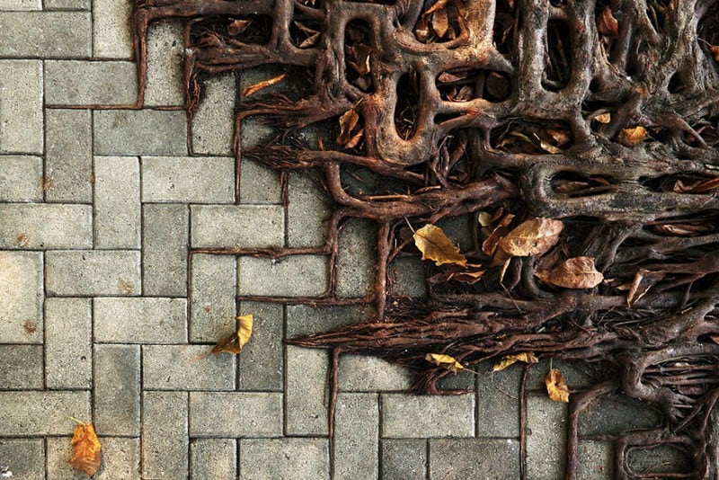 Tree roots manage to grow on concrete in search of soil
