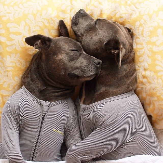 Bull-Terriers-Cuddle-Filled-Pajama-Parties-2