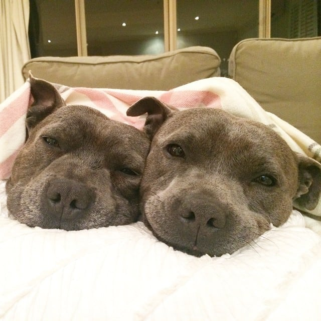 Bull-Terriers-Cuddle-Filled-Pajama-Parties-3