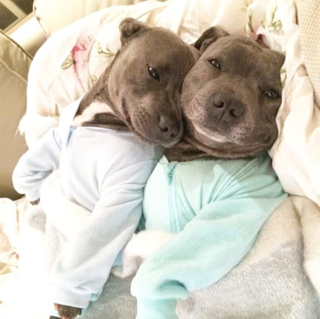 Bull-Terriers-Cuddle-Filled-Pajama-Parties-4