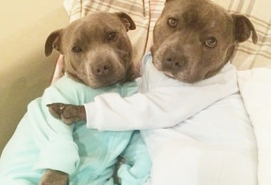 Bull-Terriers-Cuddle-Filled-Pajama-Parties-6