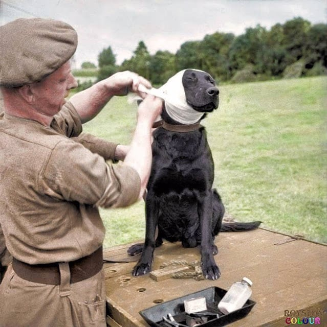 A Sergeant of the Royal Army Veterinary Corps bandages the wounded ear of a mine-detection Labrador dog named 'Jasper' at Bayeux in Normandy, 5th of July 1944. (Source © IWM B 6496 - Sgt. Christie , No 5 Army Film & Photographic Unit. Colorized by Royston Leonard UK)