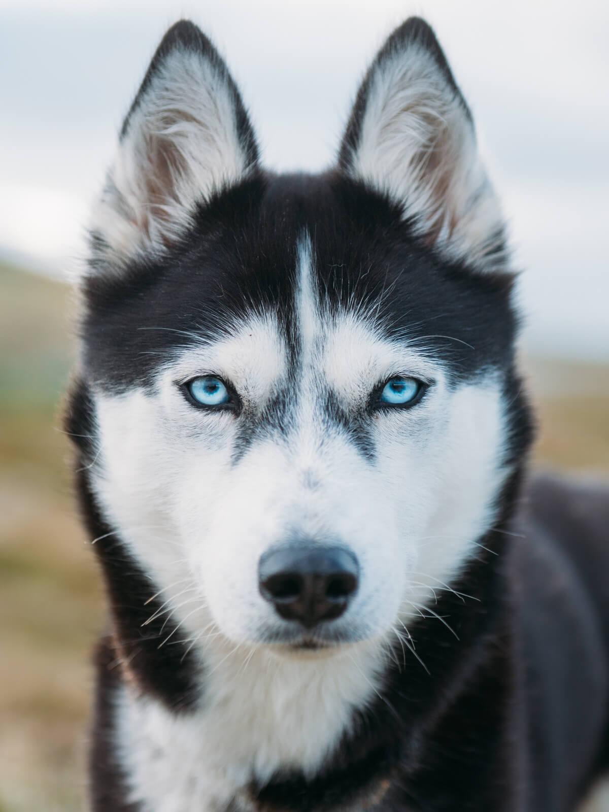 Akiak-the-adventure-dog-freeyork-10