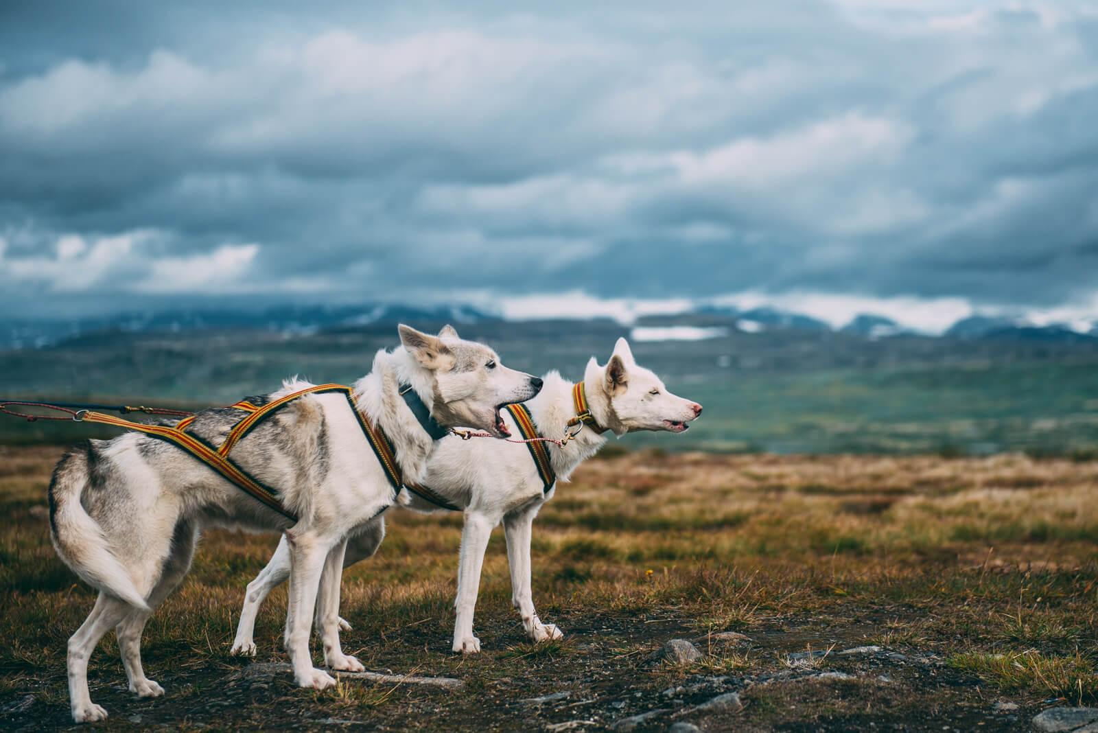 Akiak-the-adventure-dog-freeyork-4