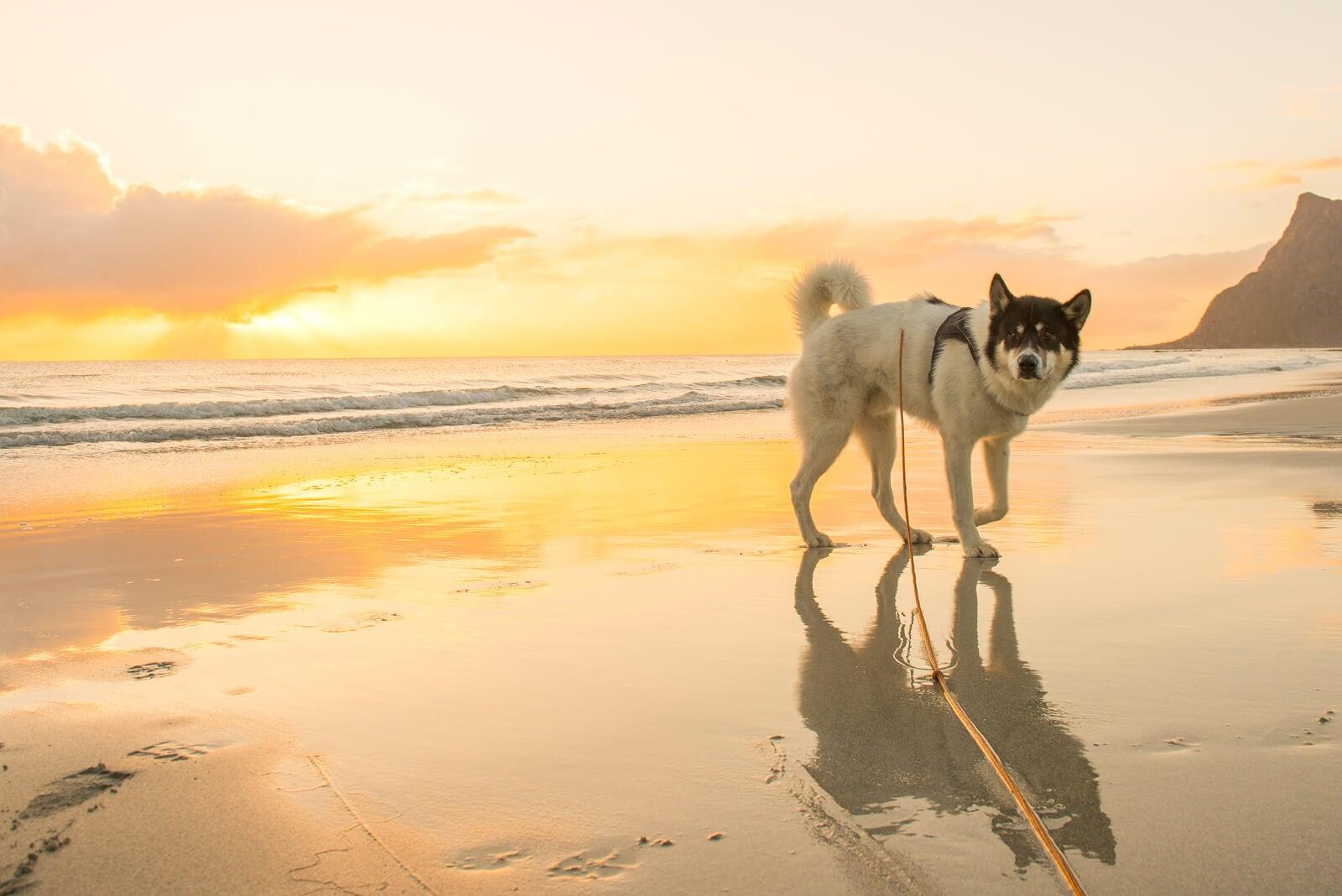 Akiak-the-adventure-dog-freeyork-8