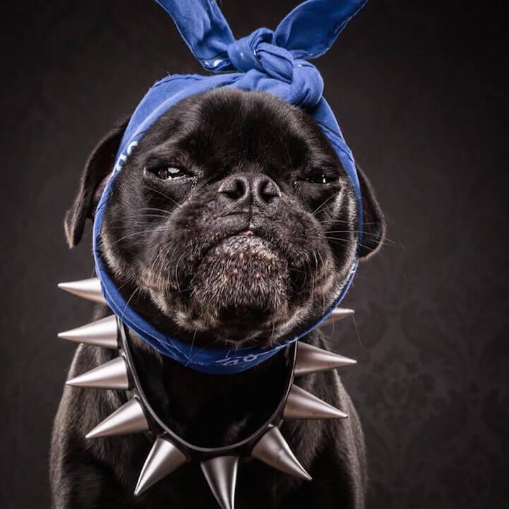 Snoop Pug (aka Diesel)