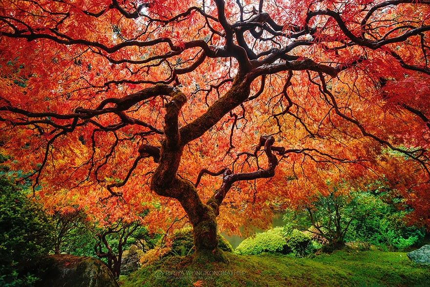 Japanase Maple (1)