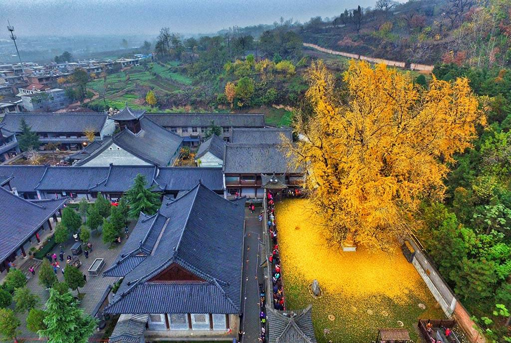 chinese-ginkgo-tree-freeyork-5