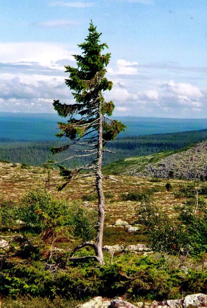 oldest-tree-9500-year-old-tjikko-sweden-fy-4