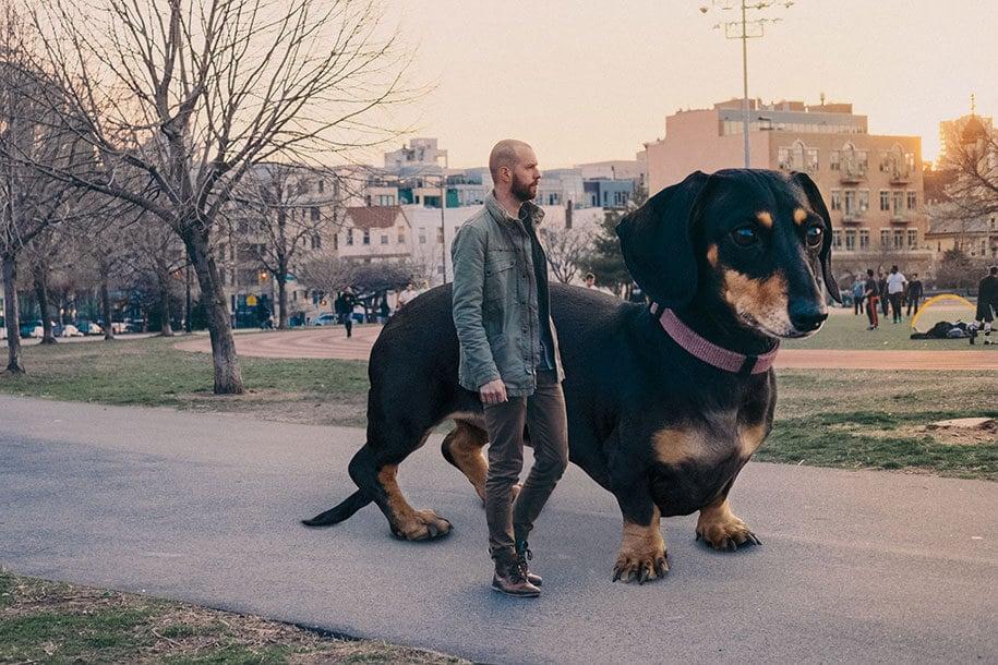 vivian-dachshund-giant-dog-4