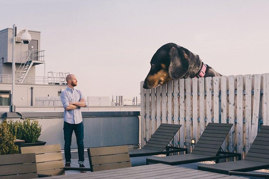 vivian-dachshund-giant-dog-6
