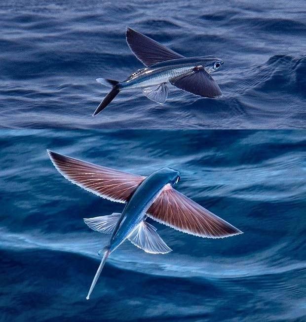 01 Exocoetidae Flying Fish