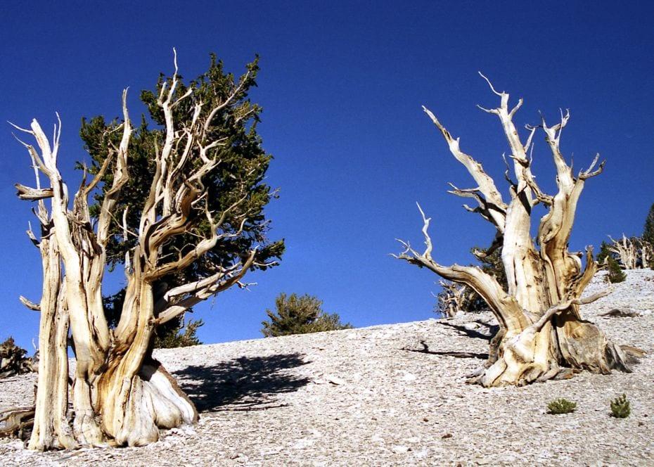 Bristlecone Pines 011