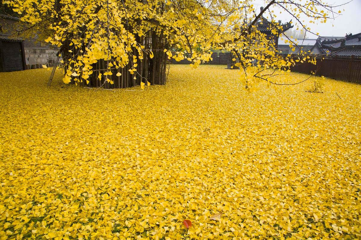 chinese ginkgo tree freeyork 1