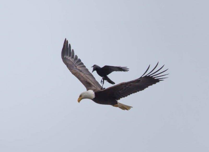 funny animals crow riding eagle phoo chan 2