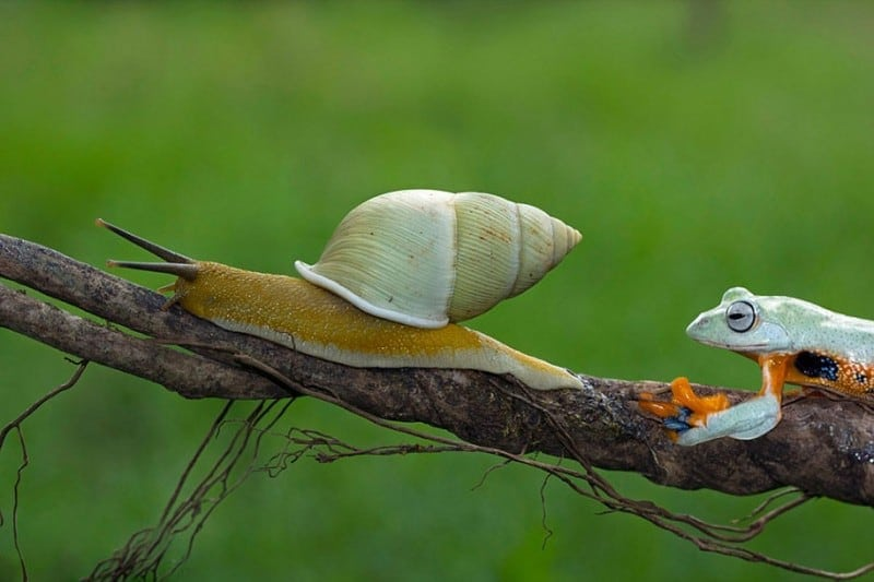 funny animals frog riding snail kurito afsheen indonesia 3