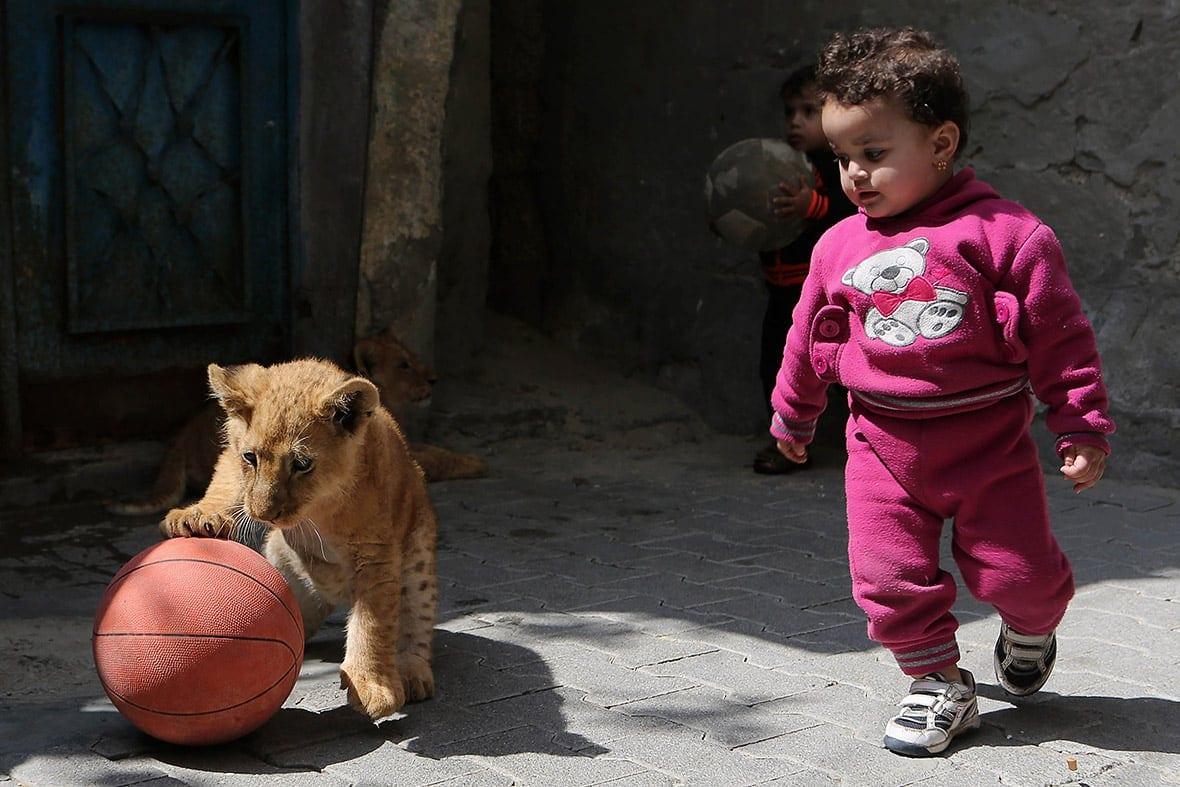 gaza pet lion cubs