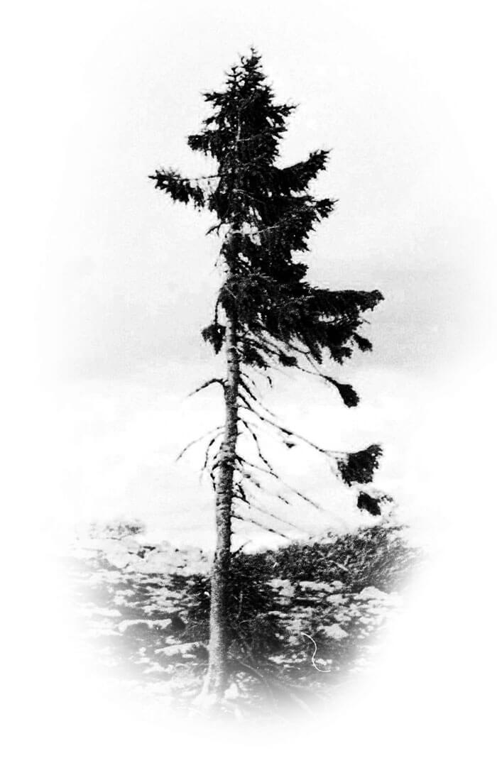 oldest tree 9500 year old tjikko sweden fy 1