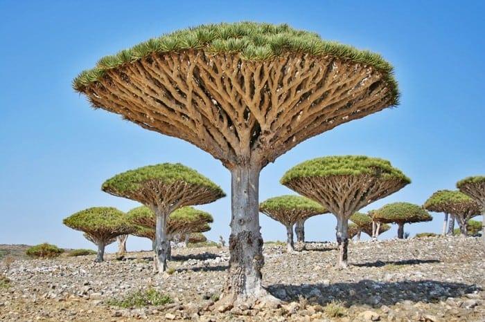 socotra trees