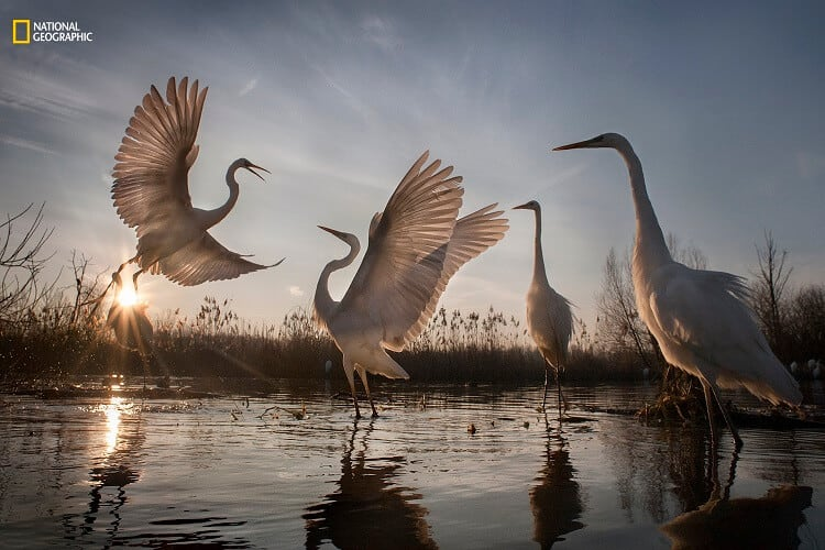 Zsolt Kudich/2016 National Geographic Nature Photographer of the Year. Great Egrets Take Flight. 3rd Place—Action: A remarkable conservation success story, the graceful great egret was saved from the brink of disappearance in Hungary, where in 1921 there were only 31 mating pairs remaining. Less than a century later, international conservation efforts have triumphed. We can now count over 3,000 mating pairs in Hungary alone. Today, although their numbers are continuing to climb, the great egret remains the Hungarian Nature Conservation's symbol, and they are still considered an endangered species that must be carefully protected. The birds are most active at dawn and dusk, and here they're squabbling over food and jostling for space in the crowded swamp.