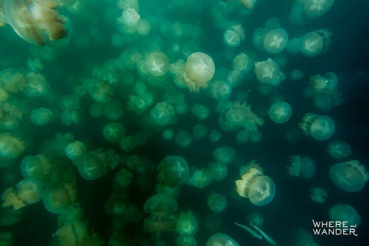 jellyfish-lake-kien-lam-1