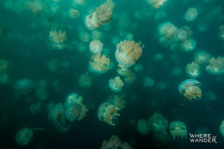 jellyfish-lake-kien-lam-3