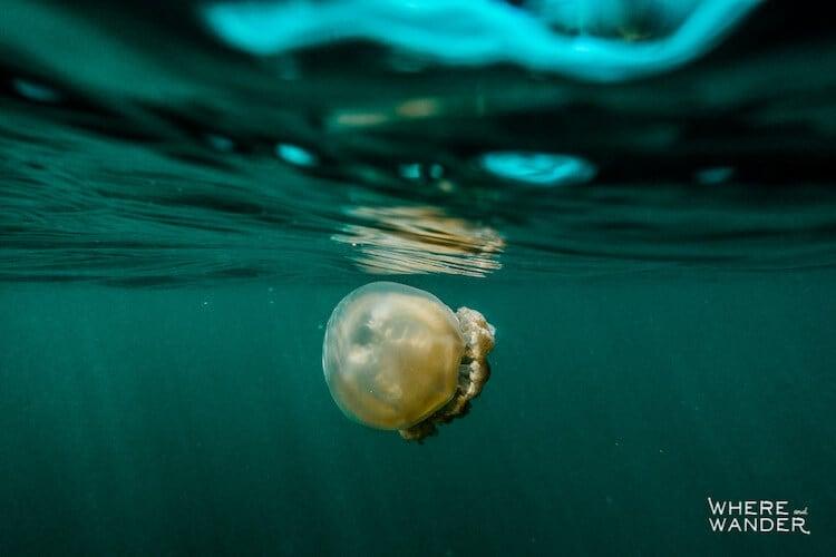 jellyfish-lake-kien-lam-5