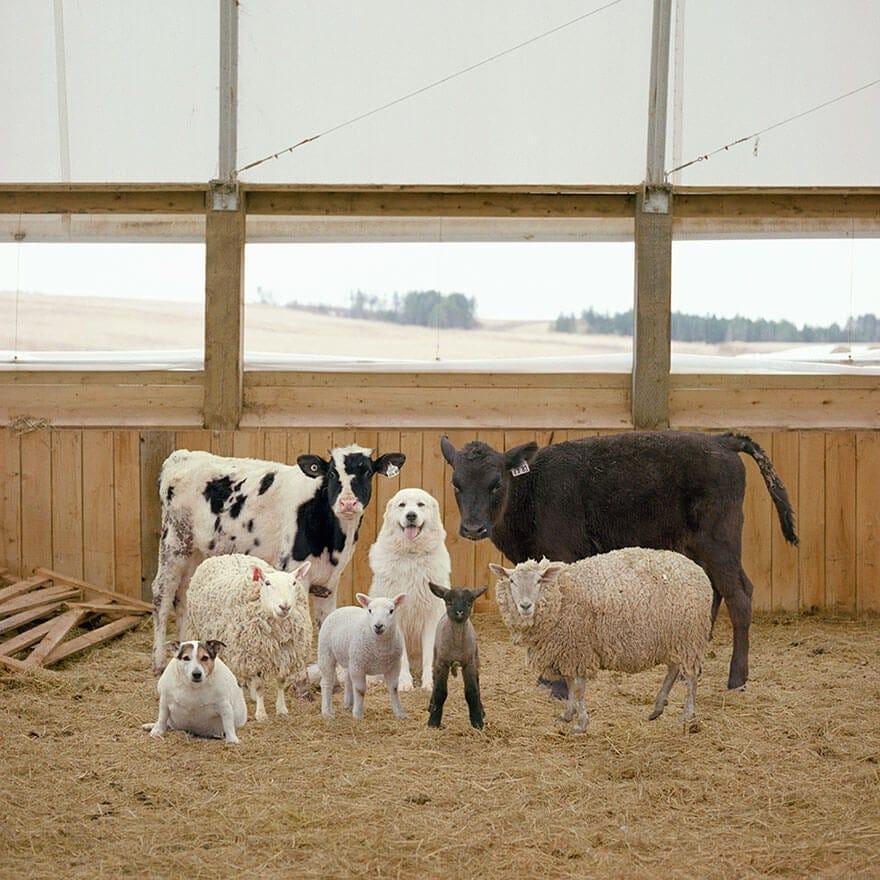 farm animal photography rob macinnis 12