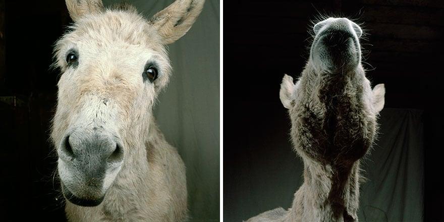 farm animal photography rob macinnis 14