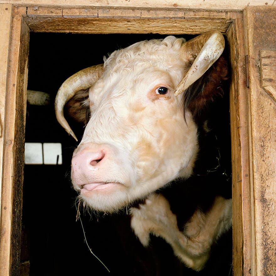farm animal photography rob macinnis 15