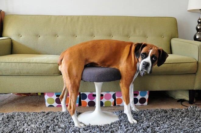 adorable photos pets struggling understand furniture fy 1