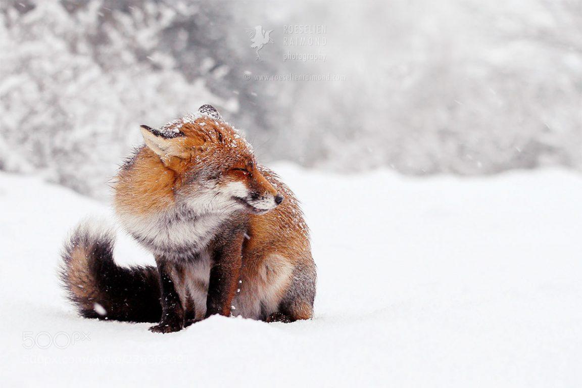 red fox photos snow roeselien raimond fy 1