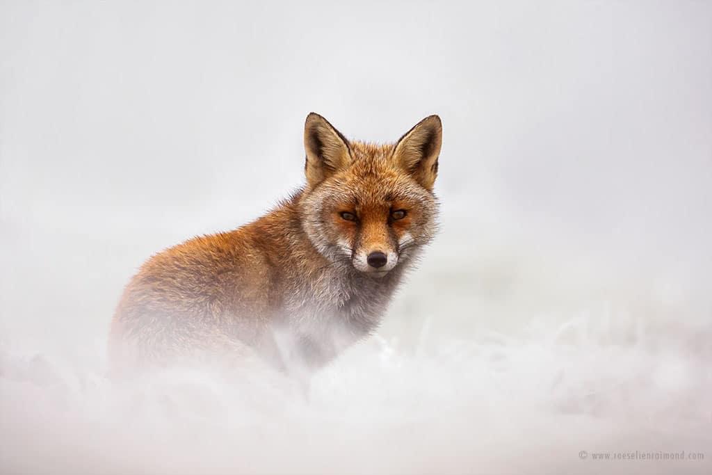 red fox photos snow roeselien raimond fy 10