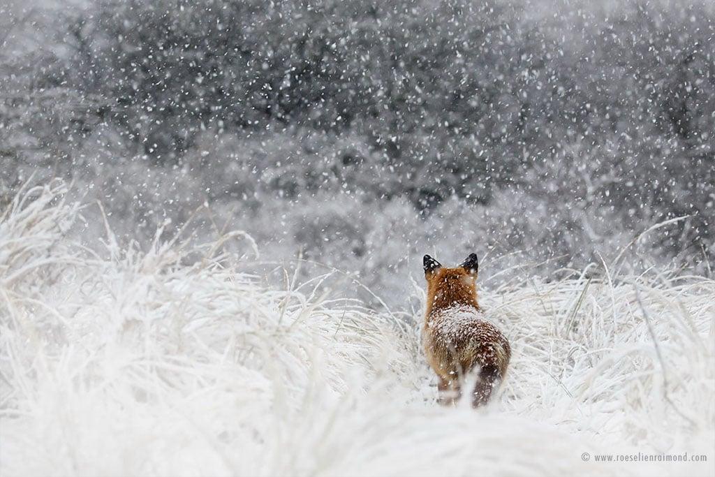 red fox photos snow roeselien raimond fy 11