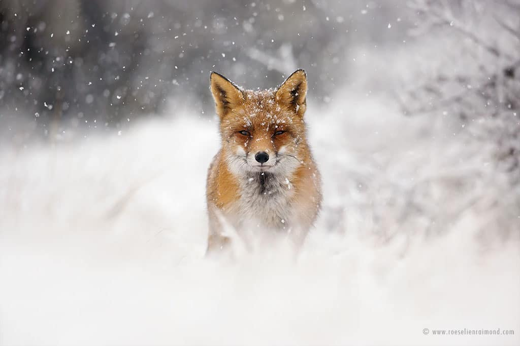 red fox photos snow roeselien raimond fy 12