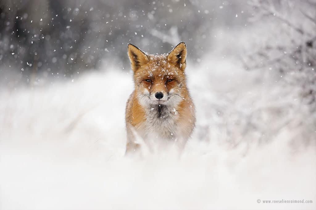 red fox photos snow roeselien raimond fy 12