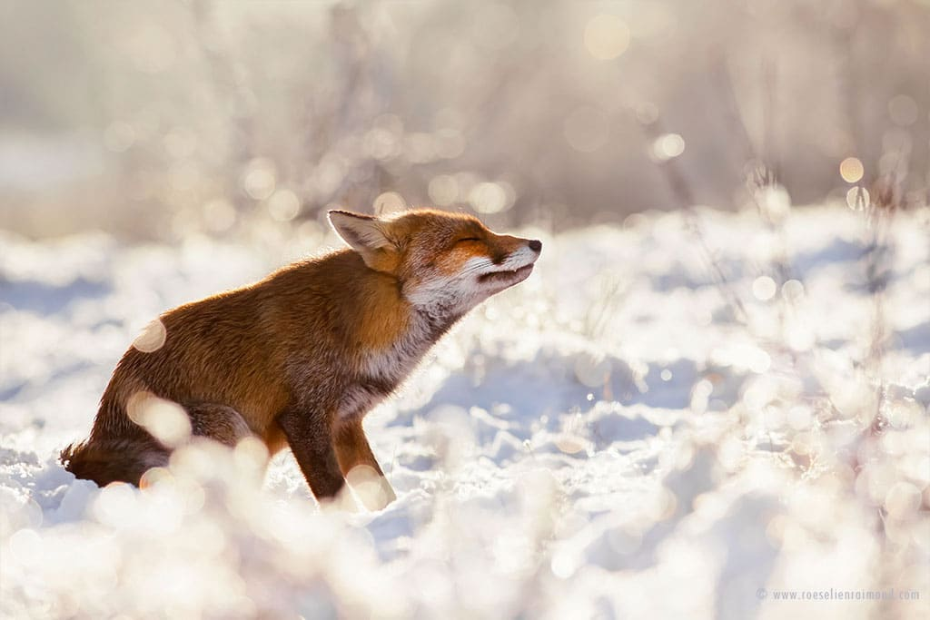 red fox photos snow roeselien raimond fy 13