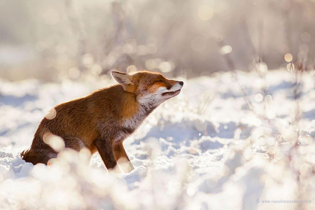 red fox photos snow roeselien raimond fy 13