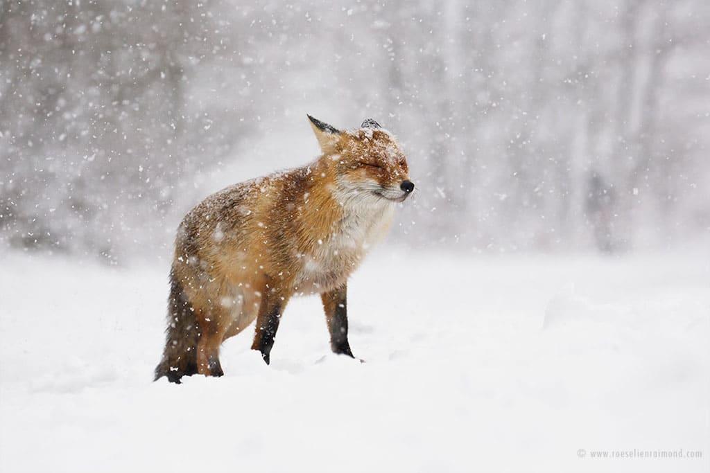 red fox photos snow roeselien raimond fy 14