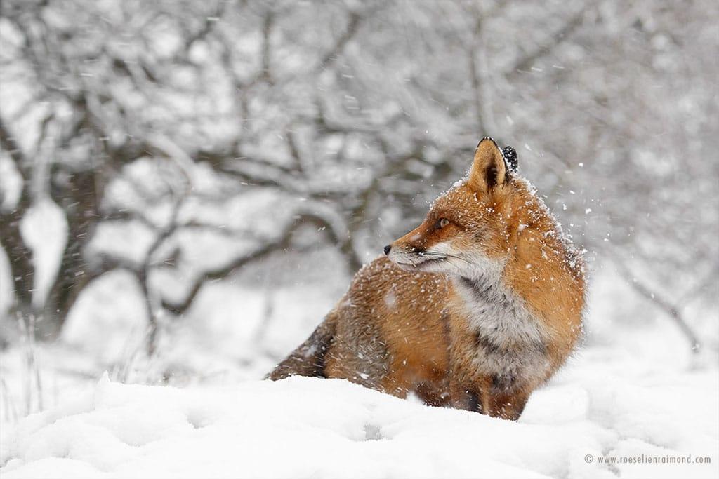 red fox photos snow roeselien raimond fy 15