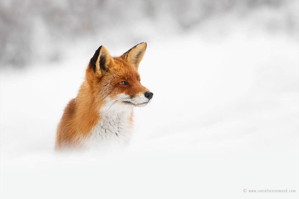 red fox photos snow roeselien raimond fy 16