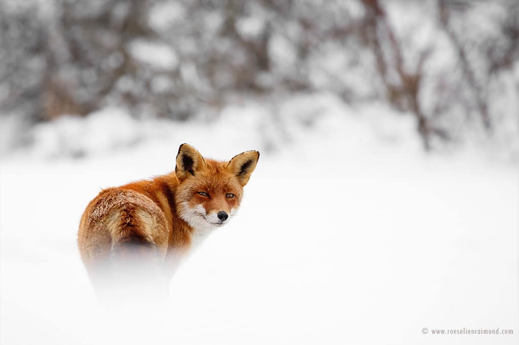 red fox photos snow roeselien raimond fy 18