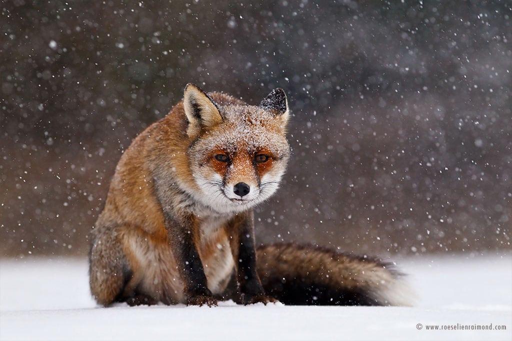 red fox photos snow roeselien raimond fy 2