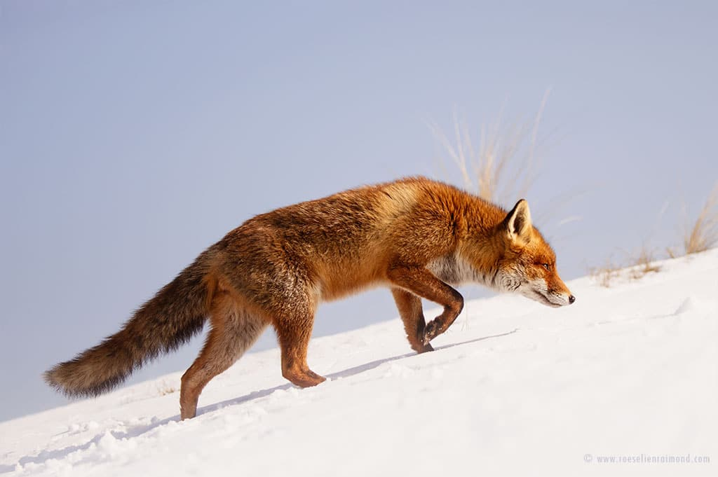 red fox photos snow roeselien raimond fy 4