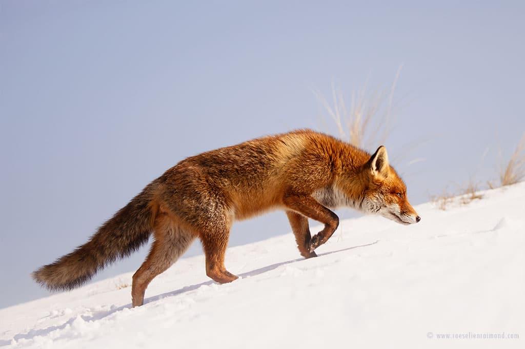 red fox photos snow roeselien raimond fy 4