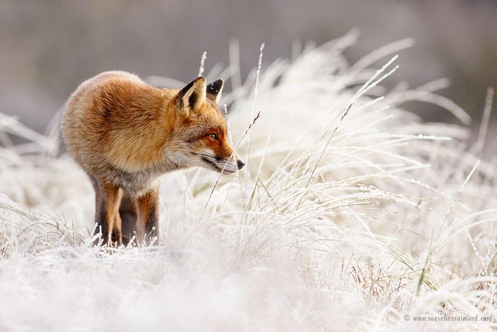 red fox photos snow roeselien raimond fy 5