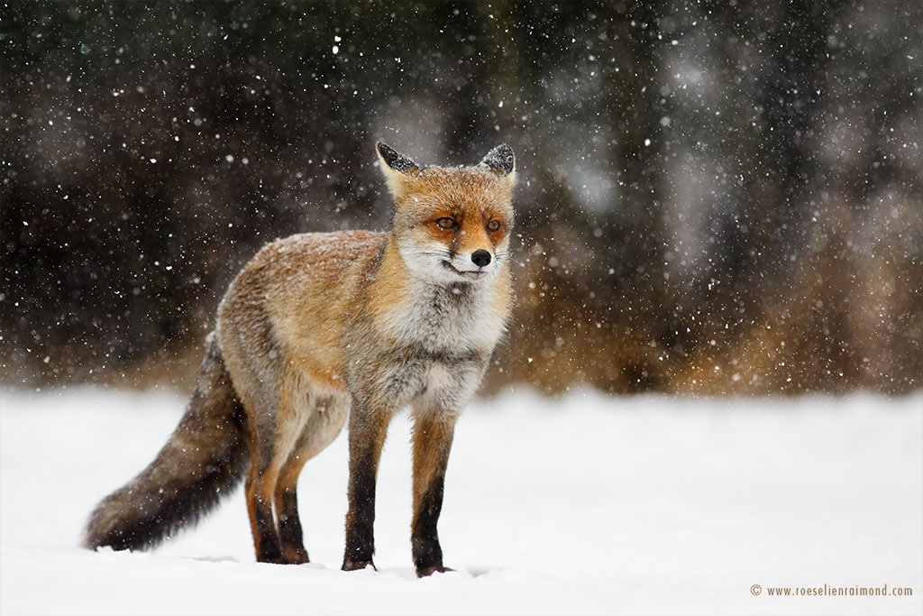 red fox photos snow roeselien raimond fy 6
