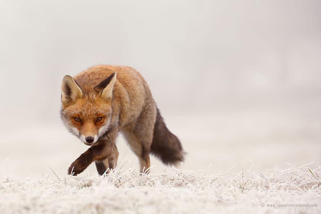 red fox photos snow roeselien raimond fy 7
